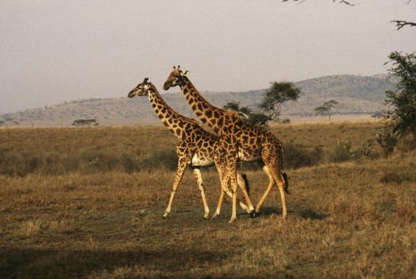Deux girafes foudroyées en Floride