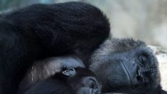 Deux gorilles du zoo de Beauval vont partir pour le Gabon