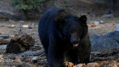 Les autorités tuent un jeune ours noir devenu une célébrité locale
