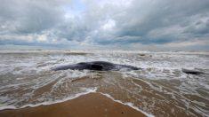 [Vidéo] Bassin d'Arcachon: la baleine aperçue près d'une plage dans la semaine a été retrouvée morte