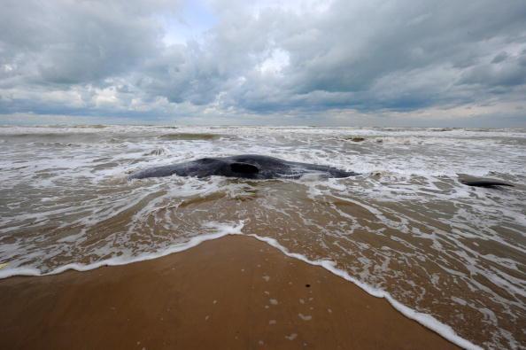 Bassin d'Arcachon: la baleine aperçue près d'une plage dans la semaine a été retrouvée morte