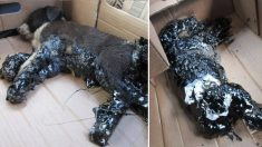 4 chiots torturés et trempés dans du goudron chaud sont laissés pour morts, mais ils survivent contre toute attente
