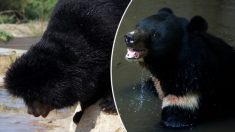 Un homme dit que le «chiot» qu'il a adopté il y a deux ans est devenu un ours