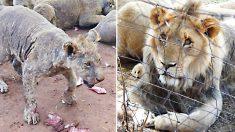 108 lions galeux trouvés dans un établissement de reproduction abandonné en Afrique du Sud - ils étaient élevés pour leurs os
