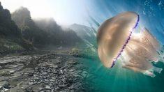 Une méduse aussi grande qu'un humain repérée au large des côtes anglaises