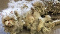 Un chat délaissé qui était couvert de plus de 2kg de fourrure emmêlée est surpris par son propre nouveau look