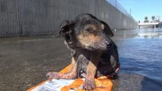 Un chien dont la patte a été coupée et jeté de 9 mètres réussit miraculeusement à survivre