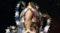[Vidéo] Deux hommes risquent leur vie en jouant avec une pieuvre aux anneaux bleus sur leur peau nue