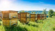 Pour sauver les abeilles mellifères, Morgan Freeman convertit son ranch de 50 hectares en une «réserve d'abeilles»